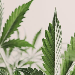 71 of gynecological cancer patients find relief from medical cannabis