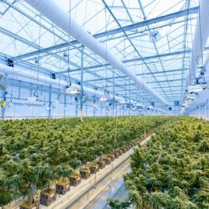 Cannabis industry expected to generate 10000 jobs by 2025