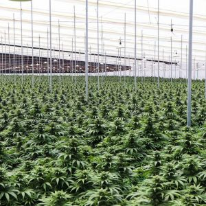 Clever from Colombia wants to donate cannabis worth 25 million