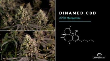 Dinamed CBD by Dinafem, our first high pure therapeutic CBD  marijuana strain in 4k