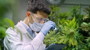 Medical cannabis research still has funding problems
