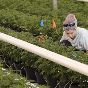 What Buffalo Niagara Can Learn From Canadas Cannabis Industry Experiment