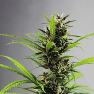 A Breakthrough for Cannabis in Colombia