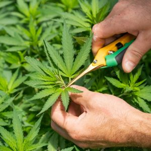Medical Cannabis to Boost Exports for Colombia